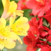 Two color Alstroemeria