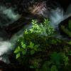 渓流の新緑