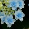紫陽花シンフォニー♪6