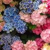 紫陽花シンフォニー♪8