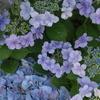 紫陽花シンフォニー♪9