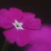 花便り - 白星の桜草 -