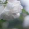 雨の薔薇園