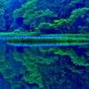 深緑を彩るカキツバタ