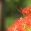 柔らかな秋の光と彼岸花