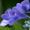 紫陽花の吐息1