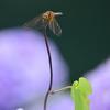 紫陽花蜻蛉