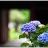 「紫陽花の頃」 小江戸川越散歩180