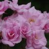 桜貝-長居植物園