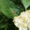 白い紫陽花と蜘蛛の巣