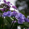 雨に潤う‥梅雨の花