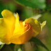 輝く黄バラ DSC_2751