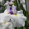 白に黄色の花菖蒲。