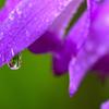 花の涙<紫蘭>