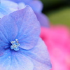 紫陽花 カラフルに。