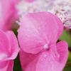 紫陽花の横顔。。。