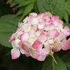 白い紫陽花 変幻