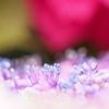 紫陽花のしらべ。
