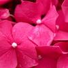 紅に。紫陽花。
