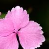 紫陽花の髪飾り。。。