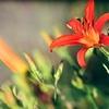 赤い百合の花
