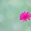 庭の花(クナウキア)