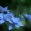 淡色七段花