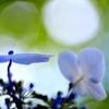 梅雨の晴れ間に咲くⅡ