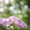 資福寺の紫陽花2018Ⅸ