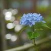 資福寺の紫陽花2018Ⅻ