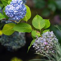 紫陽花と小川