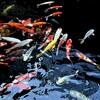 金太郎池の鯉
