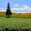 色づいて来た麦畑