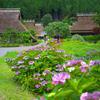 日本風景1111紫陽花