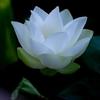 Pure White @デンパーク蓮祭り
