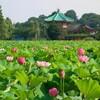 弁天堂蓮の花