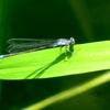 湿原の虫たち~クロイトトンボ