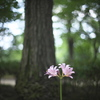 日本庭園のナツスイセン