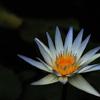 熱帯の涼青花…