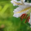 花便り - 無垢な輝き -