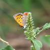 写真掌編:菊芋をめぐる冒険3:紅蜆蝶(ベニシジミ)の優柔