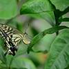ミカンの葉にアゲハ蝶