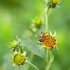 写真掌編:菊芋をめぐる冒険5:蜜蜂と長老菊芋