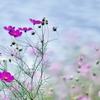 湖畔の秋桜