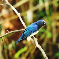 幸福の青い鳥・黄色の鳥