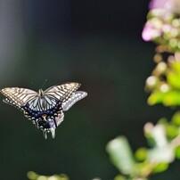 2018~蝶の舞姿、、、④