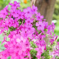 庭の花です
