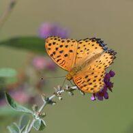 金色の翅色 DSC_1586