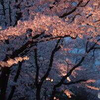 高田公園桜2017