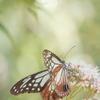 和緑 モダン蝶